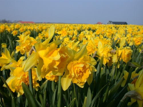 Image-spring-nature-plants-yellow-daffodil-daffodils-flower-flowers
